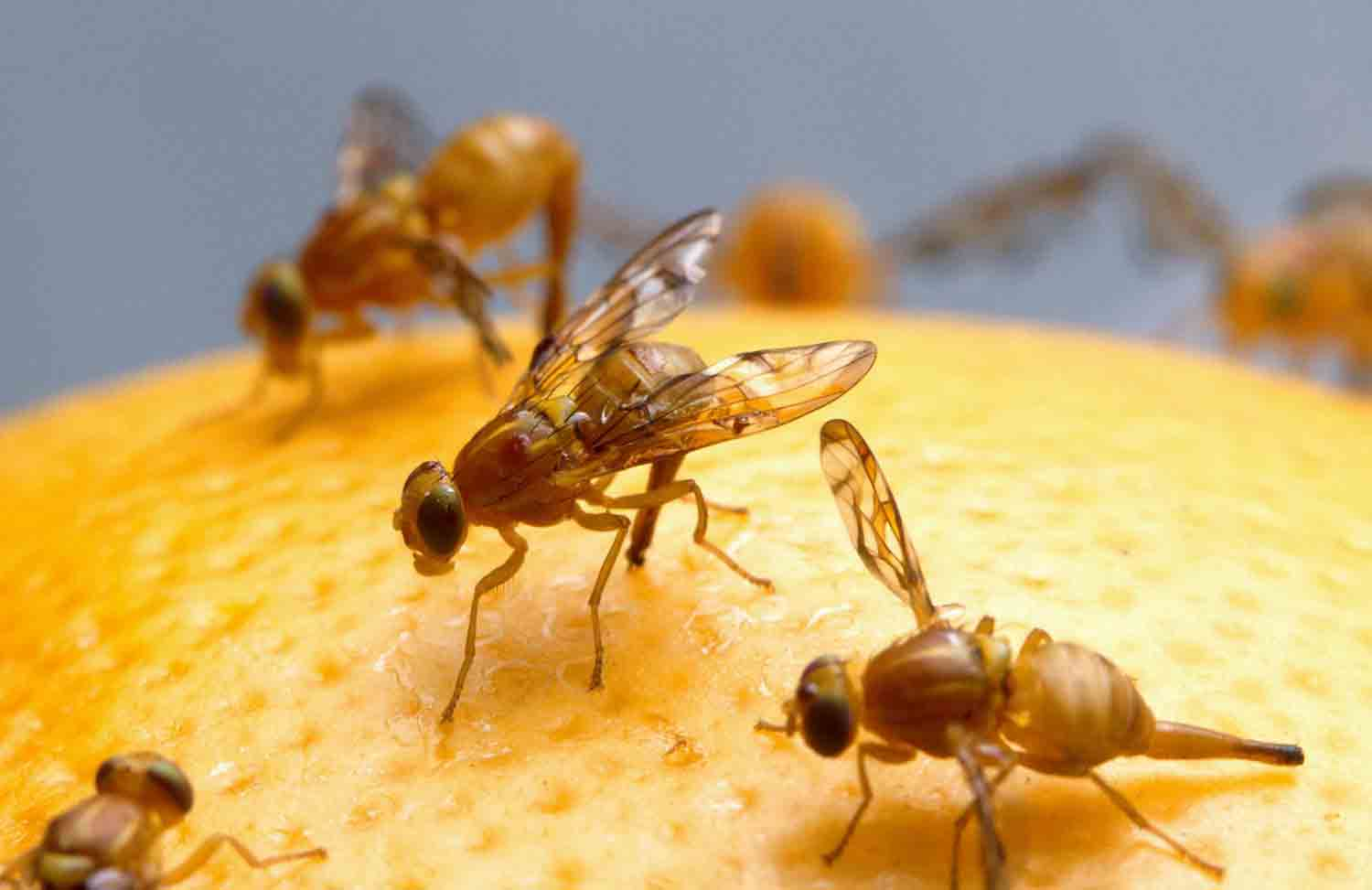 Female Mexican fruit fly insect